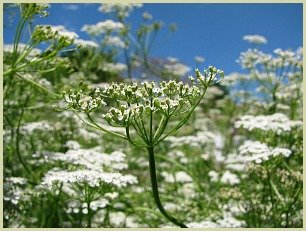 picture of cumin plant