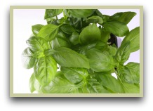 picture of basil herb