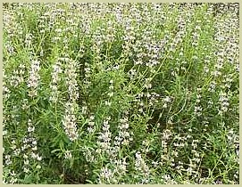picture of black sage salvia mellifera