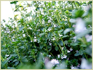 picture of common thyme