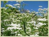 cumin plant picture