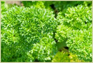 picture of curly parsley