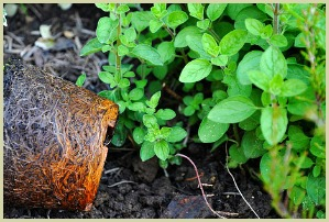 picture of oregano herb