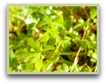 flat leaf parsley picture