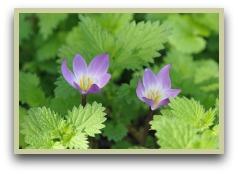 picture of saffron crocus flowers