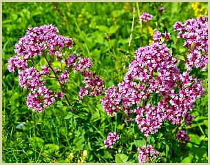 picture of flowering oregano