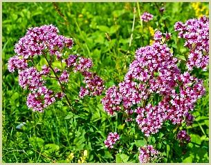 picture of flowering oregano