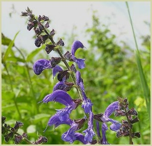 picture of meadow sage by Oswald Engelhardt