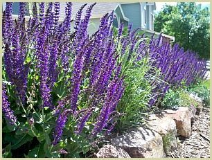 picture of Mexican bush sage