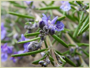 picture of rosemary