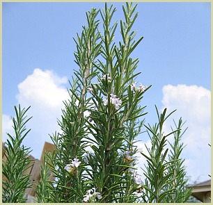 picture of rosemary tree