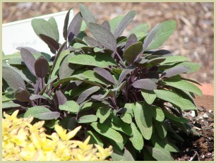 picture of sage plants