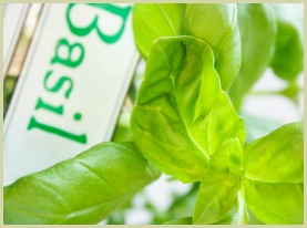 picture of sweet basil herb