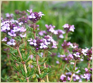 picture of thyme plant