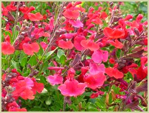 picture of autumn sage