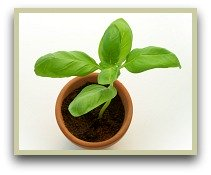 Picture of basil growing in a pot