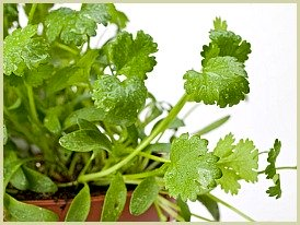 picture of cilantro plant