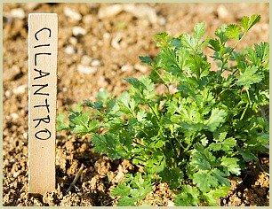 picture of cilantro plant