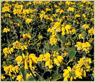 picture of Jerusalem sage