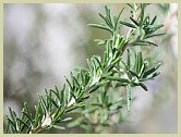 rosemary picture