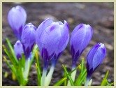 picture of saffron crocus flowers