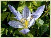 picture of saffron crocus