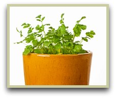 Picture of cilantro herb growing in a pot